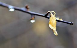 Det ensamma gula bladet på en filial med regn tappar Fotografering för Bildbyråer