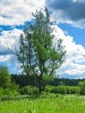 Det ensamma trädet i mitt av ett fält i det naturligt parkerar Olenyi bäckar i den Sverdlovsk regionen royaltyfri fotografi