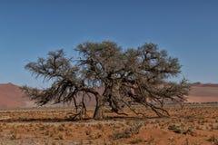 Det ensamma trädlandskapet med buskar och röda dyn i Namibiaet deserterar Sossusvlei royaltyfri foto