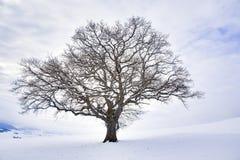 Det ensamma vinterträdet Royaltyfri Bild
