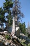 Det eroderade döda trädet rotar Royaltyfria Bilder