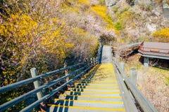 Det Eungbongsan berget som fotvandrar vägen med forsythia, blommar i Korea Royaltyfri Bild