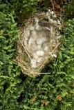 Det européGreenfinch (Carduelischloris) redet anföll vid skatan med det brutna ägget arkivfoto