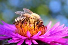 Det europeiska honungbiet Royaltyfri Bild
