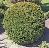 Det exakt för bigl som klippas som en dekorativ trädgårds- buske för boll arkivfoto