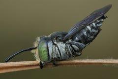 Det extrema slutet upp av biet arkivfoton