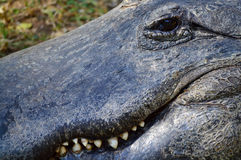 Det extrema slutet upp av en alligator och dess Toothy grinar royaltyfria foton