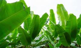 Det färdiga bananbladet med behandla som ett barn bollen Arkivbilder