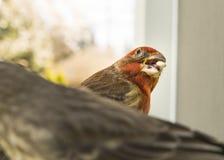 Det färgrika orange manliga huset Finch Competes för kärnar ur på fågelförlagemataren Arkivfoto