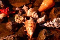 det fästande ihop isolerade banahavet shells white Royaltyfri Foto