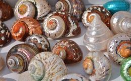 det fästande ihop isolerade banahavet shells white Arkivfoton