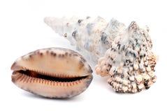 det fästande ihop isolerade banahavet shells white Royaltyfria Foton
