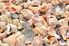 det fästande ihop isolerade banahavet shells white Bakgrund Arkivbild