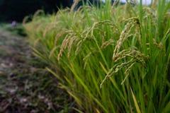 Det första örat av ris av säsongen arkivfoto