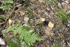 Det första insnöat skogen de gröna och gula sidorna frysas, granarna av granarna ligger Visare av julgranar i arkivfoton