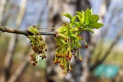 Det första tecknet av våren är de avfärdade njurna på träd Arkivfoto