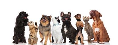 Det förtjusande laget av blandade husdjur är nyfiket och ser upp royaltyfri bild