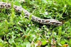 Det farliga djur (Burmese pytonorm) kunde finnas mellan de gröna gräsen på din trädgård Royaltyfri Bild