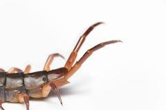 Det farliga djuret för jätte- röd mångfoting på vit bakgrund Arkivfoto