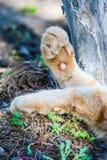 Det farligt tafsar av en röd katt royaltyfria foton
