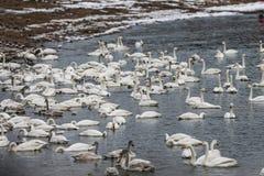 Det finns många svanar i svan sjön på soluppgång royaltyfri bild