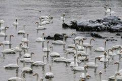 Det finns många svanar i svan sjön på soluppgång arkivbild