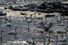 Det finns många svanar i svan sjön på soluppgång arkivfoto