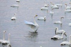 Det finns många svanar i svan sjön på soluppgång arkivfoton