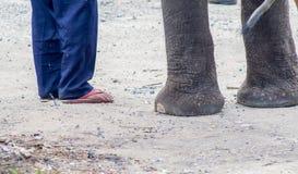 Det finns många tillfälliga elefanter i Asien Arkivfoto