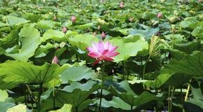 Det finns mycket lotusblommasidor Arkivfoton