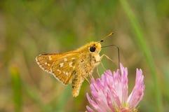 Det fjärilsHesperia kommat dricker nektar från en blomma av växt av släktet Trifolium Royaltyfri Fotografi