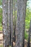 Det Florida snedstrecket sörjer träd Arkivfoto