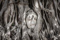 Det forntida buddha huvudet i Banyanträd rotar Royaltyfri Foto
