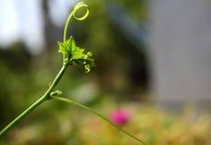 Det främre slutet av en kantkalebassvinranka fotografering för bildbyråer