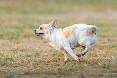 Det fria för lycklig körning för Chihuahua snabb på gräsmattan Royaltyfria Foton