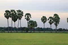 Det fridsamt av risfälten i Thailand Royaltyfria Bilder