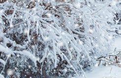 Det frostiga vinterlandskapet i snöig skog sörjer filialer som täckas med insnöat kallt väder Julbakgrund med granträd Arkivbild