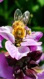 Det funktionsdugliga biet som samlar pollen i en landsträdgård från rosa färger, flödar Arkivbilder