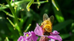 Det funktionsdugliga biet som samlar pollen i en landsträdgård från rosa färger, flödar Arkivbild