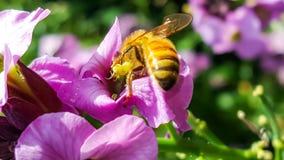 Det funktionsdugliga biet som samlar pollen i en landsträdgård från rosa färger, flödar Arkivfoton