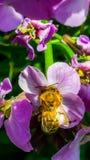 Det funktionsdugliga biet som samlar pollen i en landsträdgård från rosa färger, flödar Royaltyfri Foto