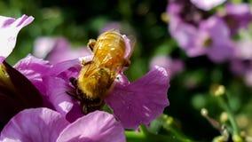 Det funktionsdugliga biet som samlar pollen i en landsträdgård från rosa färger, flödar Royaltyfria Foton