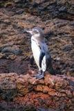 Det Galapagos pingvinanseendet vaggar på, den Bartolome ön, Galapagos arkivfoto