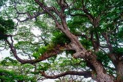 Det gamla banyanträdet lämnar livlig bild Royaltyfria Foton