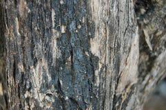 Det gamla skället av sörjer trädet arkivfoto