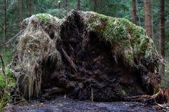 Det gamla stupade trädet med rotar och mossa arkivbild