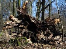 Det gamla stupade trädet, sikt av rotar royaltyfri bild