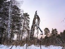 Det gamla torra trädet i vinterskog royaltyfria bilder