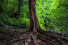 Det gamla trädet med stort rotar i grön djungel Fotografering för Bildbyråer