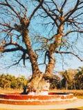 Det gamla trädet på bhagerhatl Royaltyfri Bild